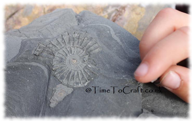 Ammonite4