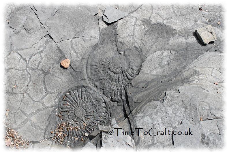 Ammonite5