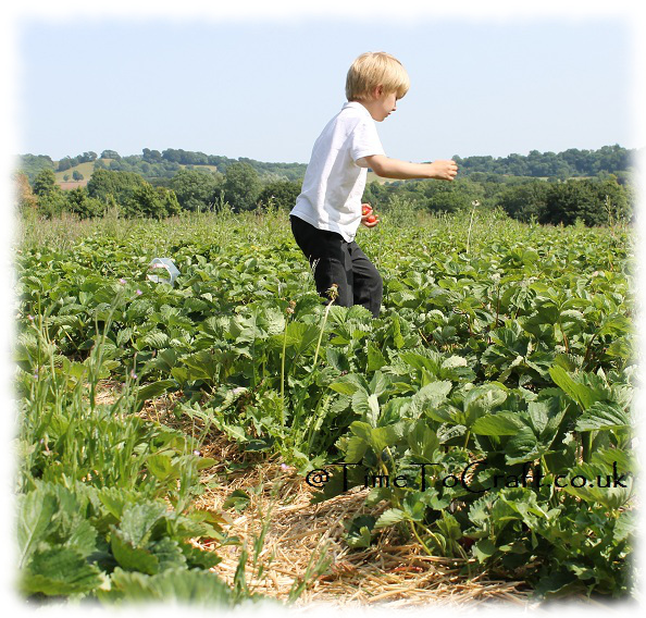 stepping carefully between the strawberry rows