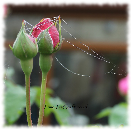 rose and web