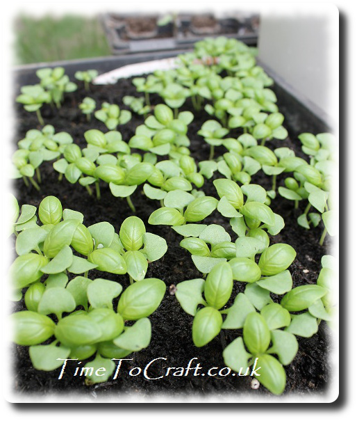 basil seedlings 2013