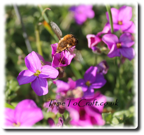 spotted bee fly 2