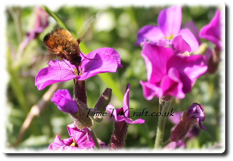 spotted bee fly