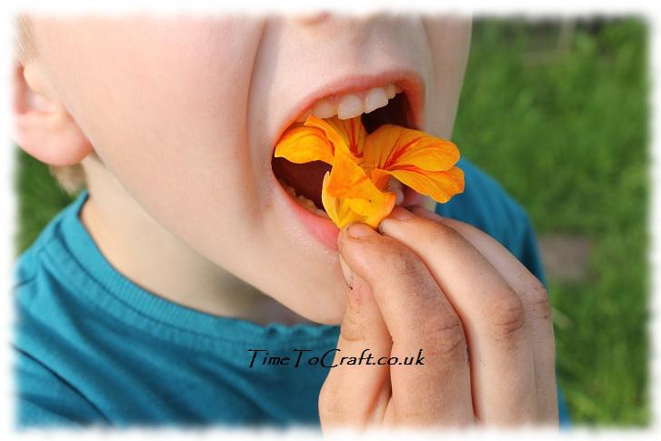 eating a nasturtium flower