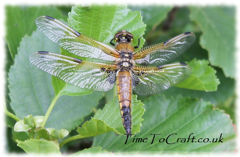 four spotted chaser dragonfly w