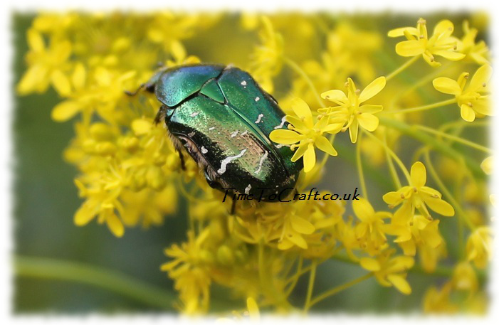 rose chaffer or goldsmith beetle