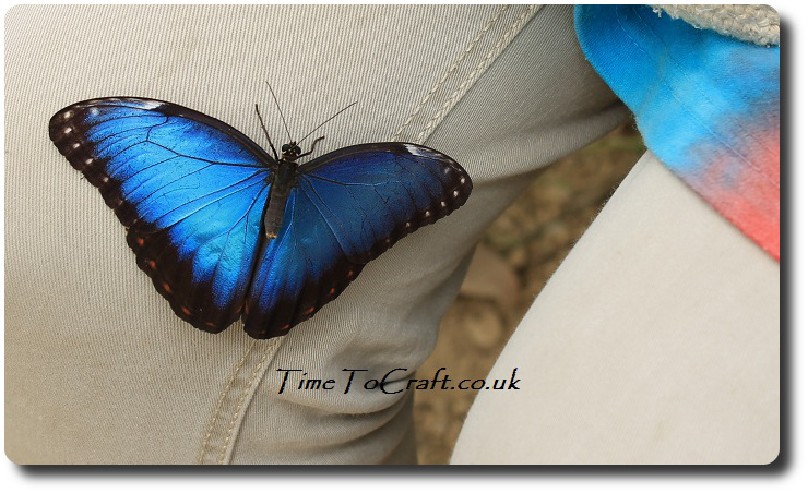 blue morpho on leg