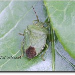AlphabetPhoto: S is for Shield Bug