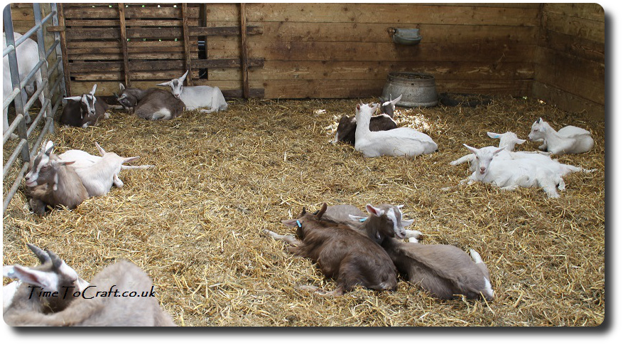 goats at Wookey Farm