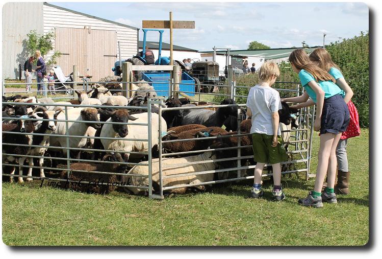 meeting the sheep at Wookey Farm