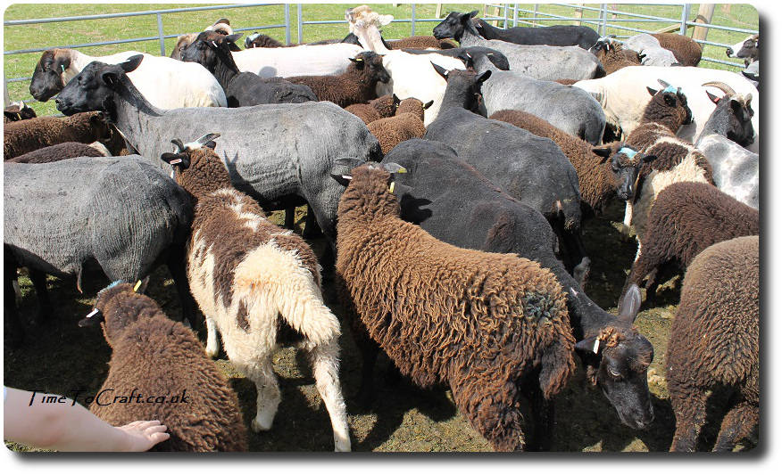 sheep in fold after shearing