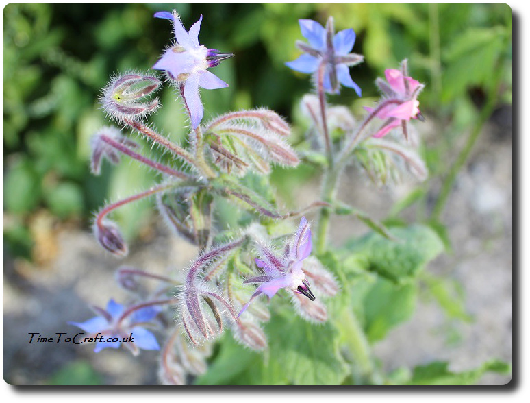 borage for bees
