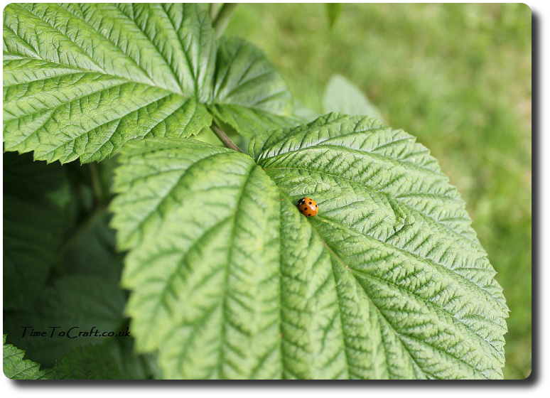ladybird on raspberry leaf