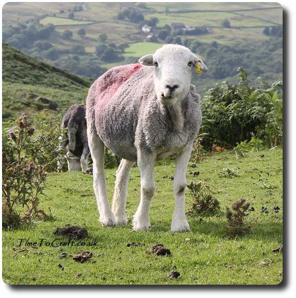 Herdwick sheep after shearing Lake District