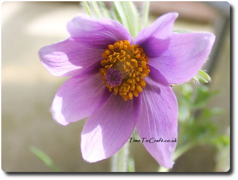 alpine purple flower