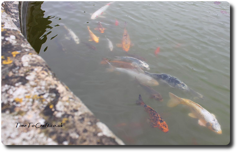 koi carp in the fountain at Montacute close up