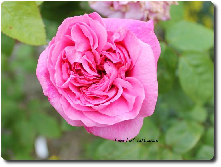 Mary Rose David Austin