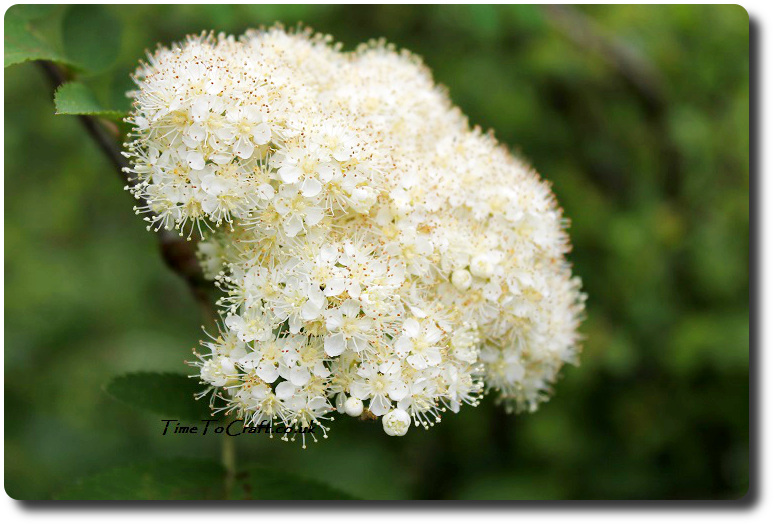 mountain ash flowers