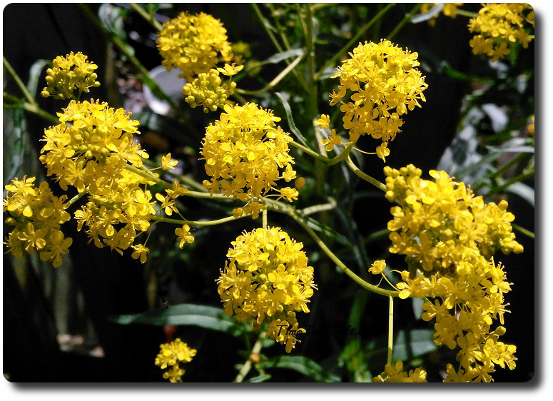 woad in bloom