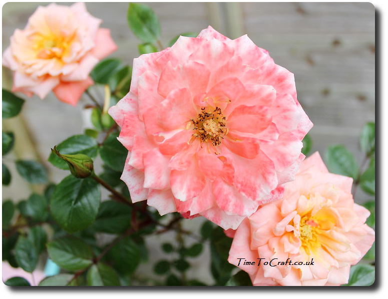 nice day rose