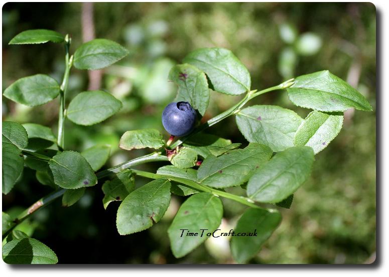 bilberry-merrick-mountain-galloway