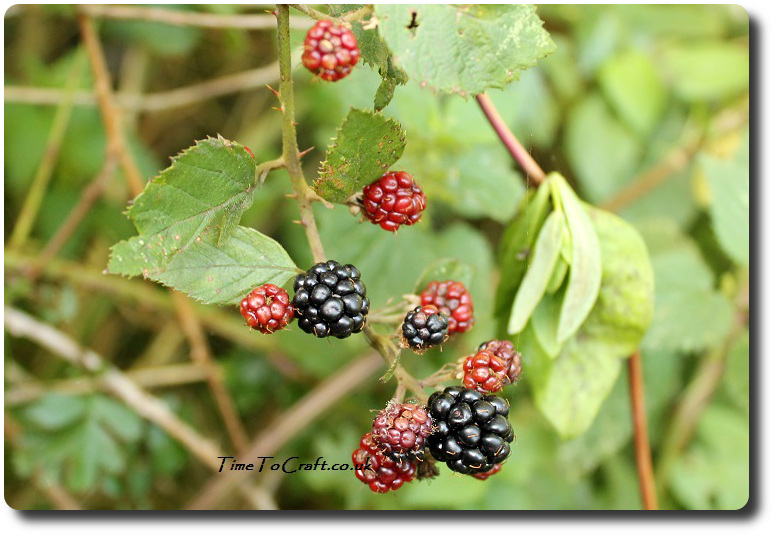 blackberries-on-the-bramble