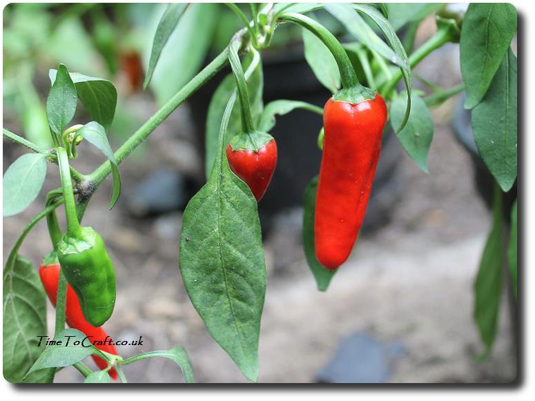 chilli-plant-apache