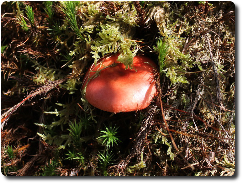 red-toadstool