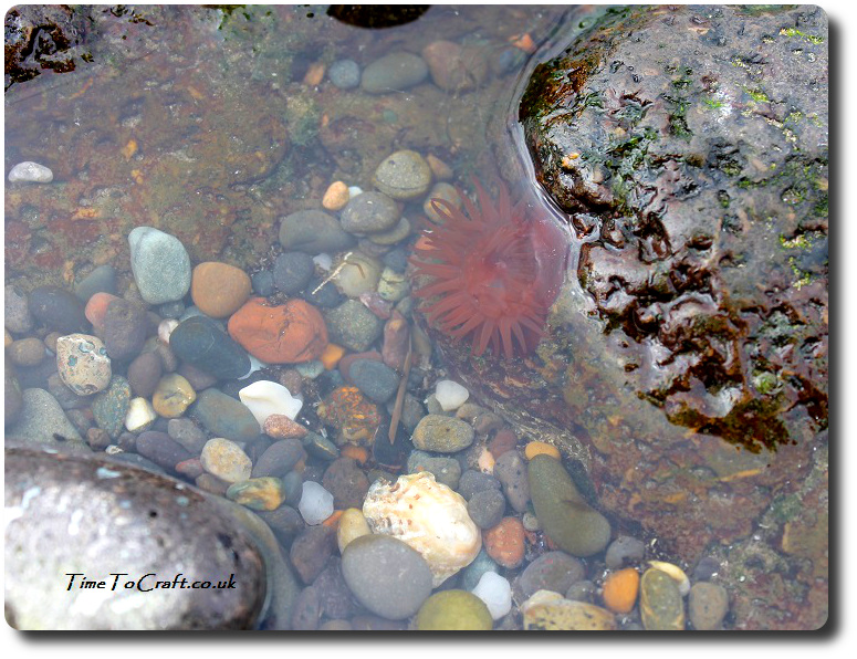 sea-anenome