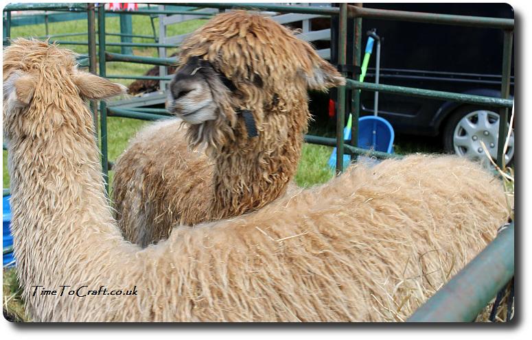 alpacas-2