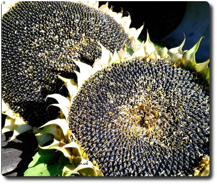 sunflower-heads