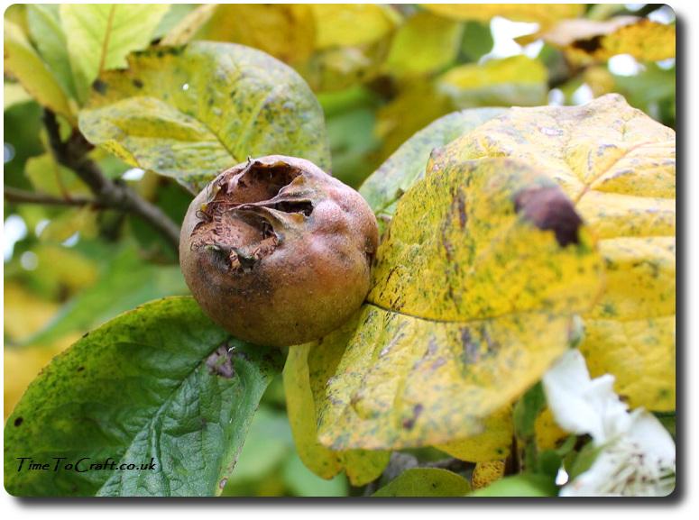 medlar-fruit-and-flower